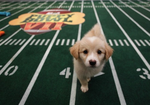 Puppy Bowl expected to go PAWsomely this year
