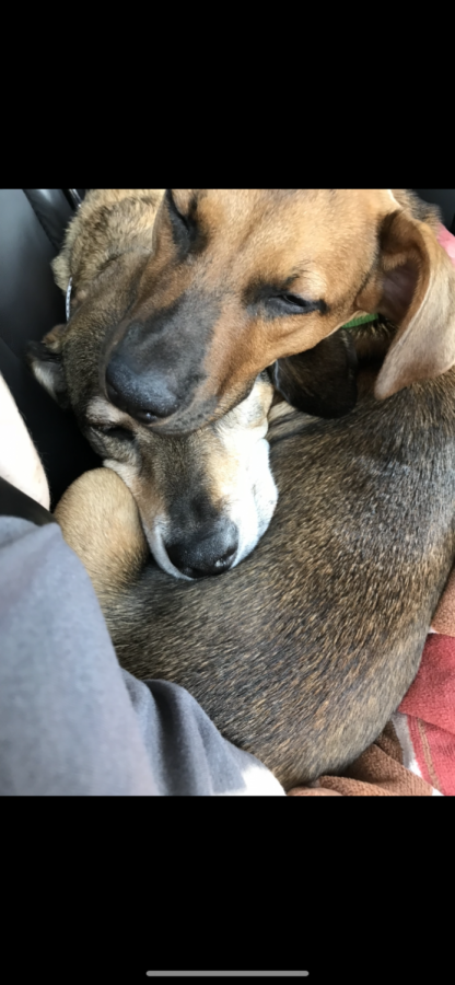 Sophomore Ella Nilsen's dogs, Tiller and Misty, nap together in the comfort of their home. The dogs have enjoyed the extended time spent with their owners in quarantine.